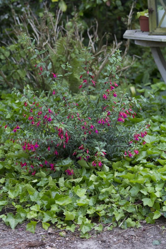 Bernisser hardy hendriks young plants - Hardy houseplants ...