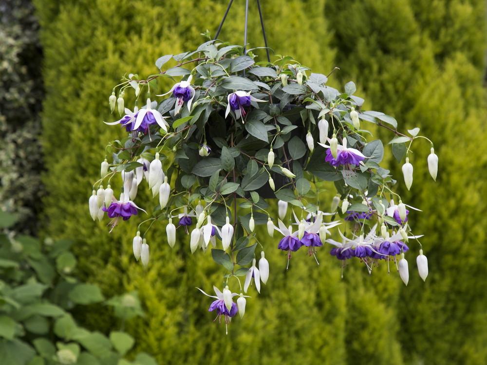 Afbeeldingsresultaat voor Fuchsia 'Blue Angel