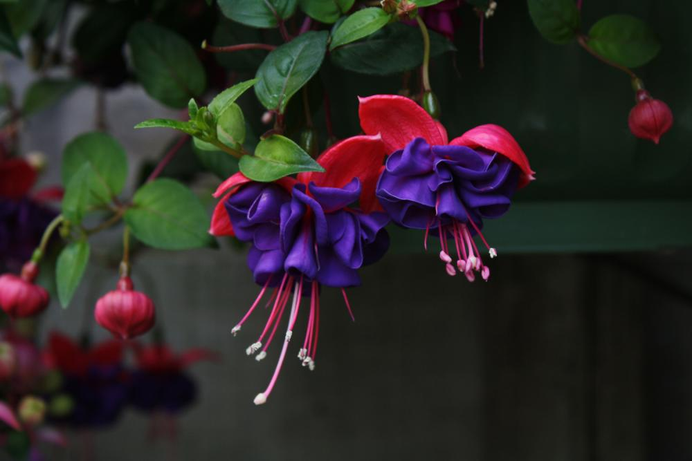 how to start fuchsia plants
